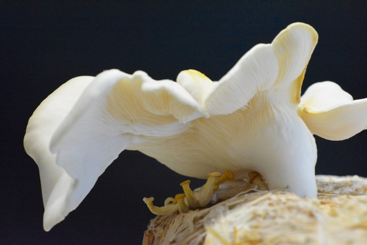 Oyster mushroom with MOF